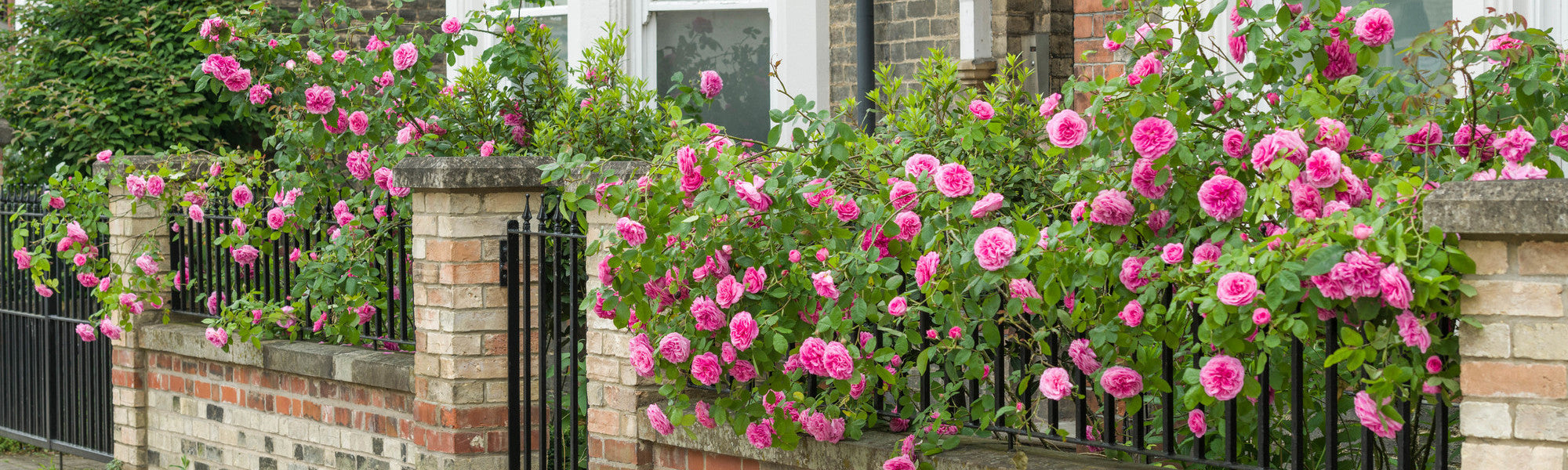 Gertrude Jekyll pink English shrub rose outside a house