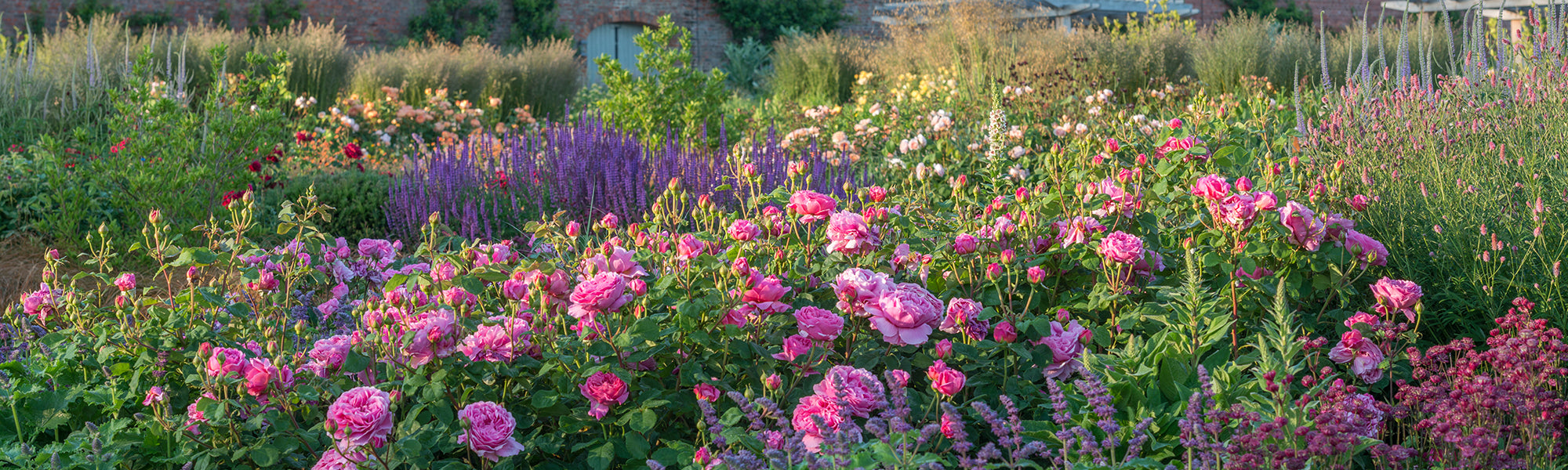 Pink rose blooms in a mixed border in a country garden - Princess Alexandra of Kent