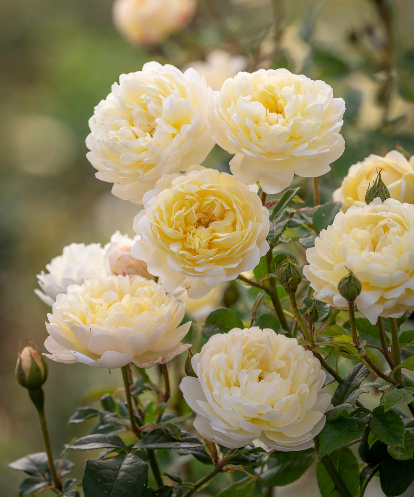 New yellow NHS English Shrub Rose for 2021 Nye Bevan