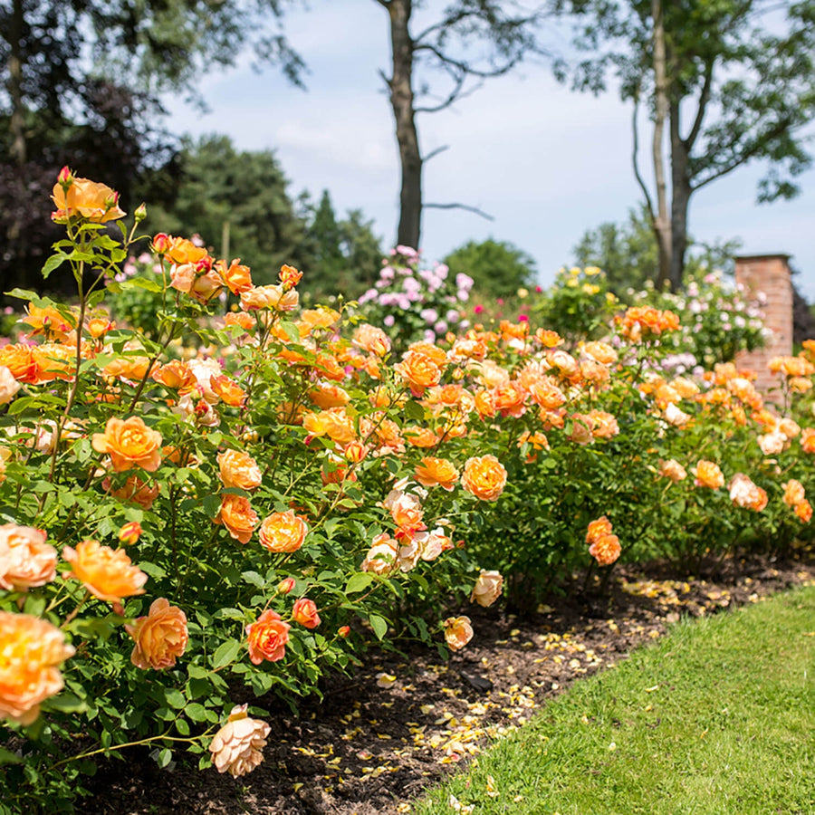 Lady of Shalott Hedging Bundle - 10 Roses