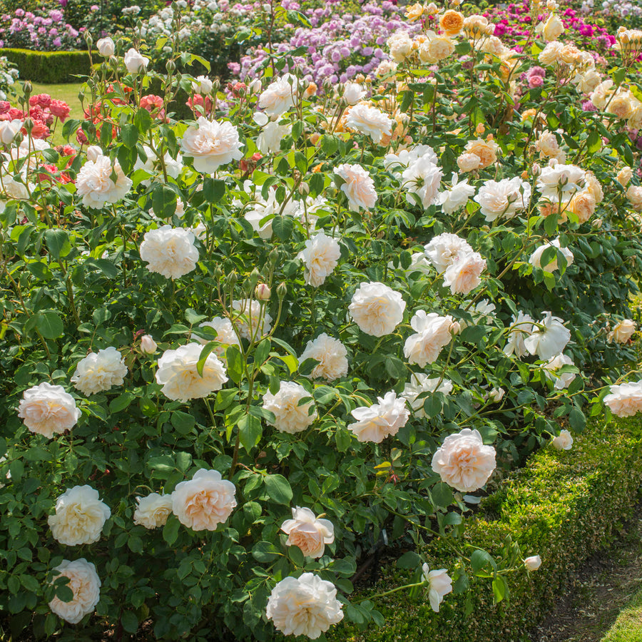 Lichfield Angel Hedging Bundle - 10 Roses
