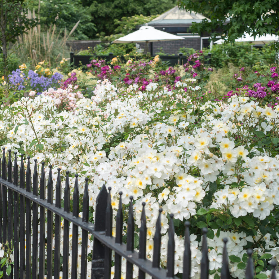 Kew Gardens Hedging Bundle