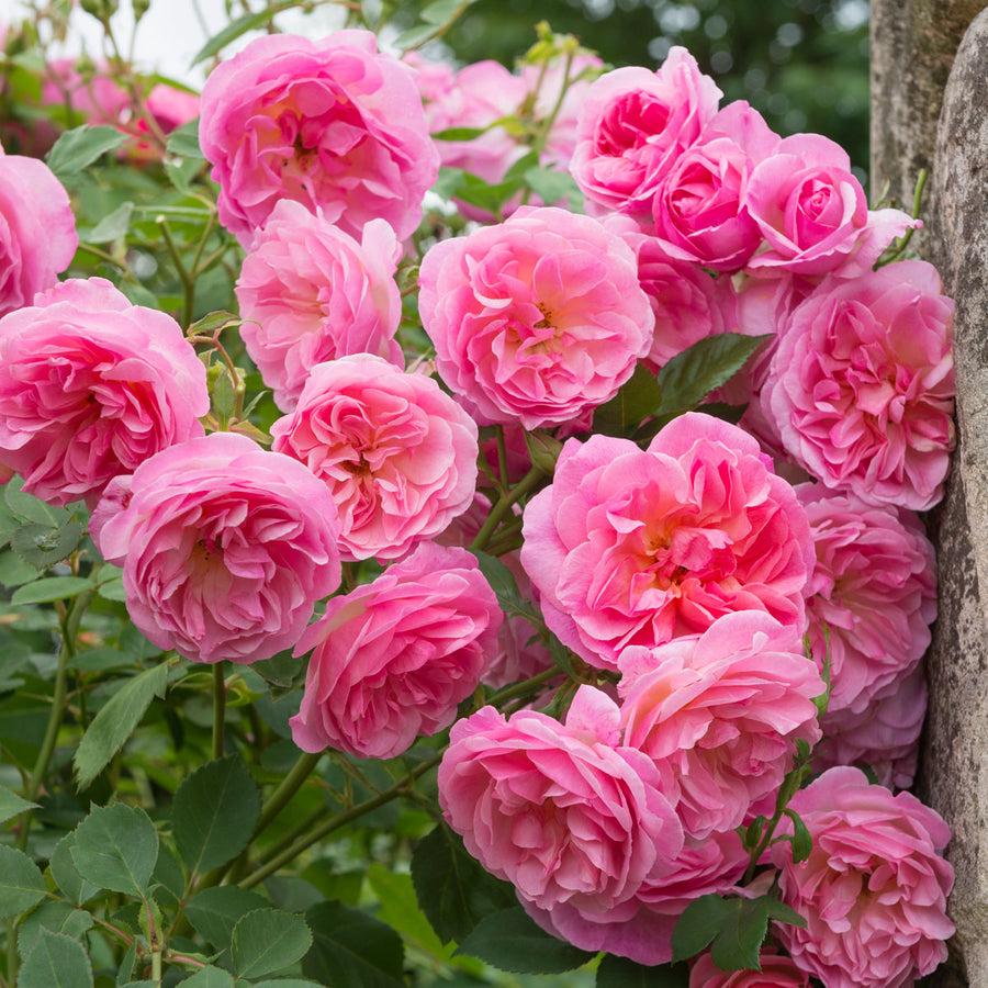 Hyde Hall Hedging Bundle - 10 Roses