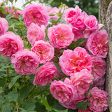 Hyde Hall Hedging Bundle - 5 Roses