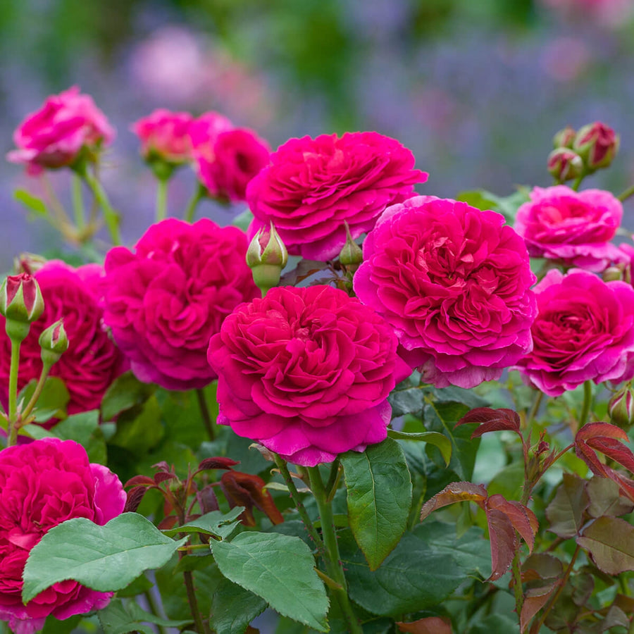 Gabriel Oak Hedging Bundle - 10 Roses