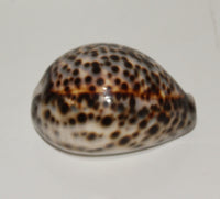 Tiger Cowrie seashell