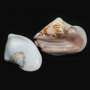Farm Raised Fink Conch (Strombus Latissimus)