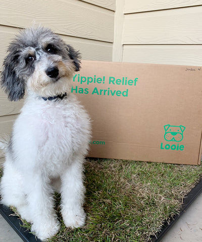 Dallas dog posing with his potty training grass pad from Looie