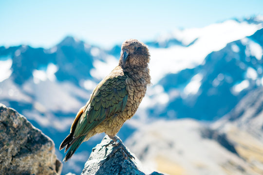 Bird of the Month with Forest & Bird - Kea, the world's only alpine parrot