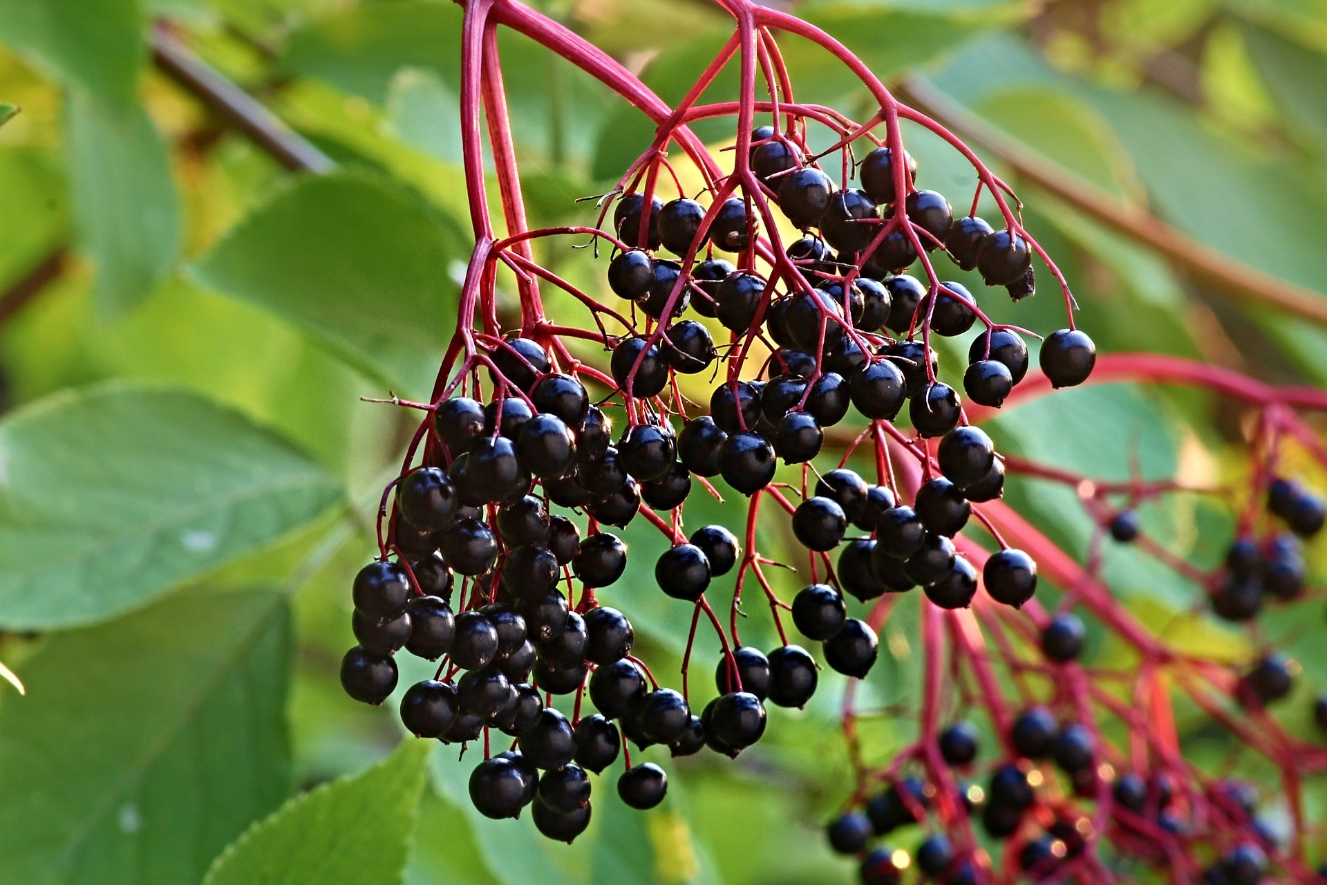 The Benefits of Elderberry
