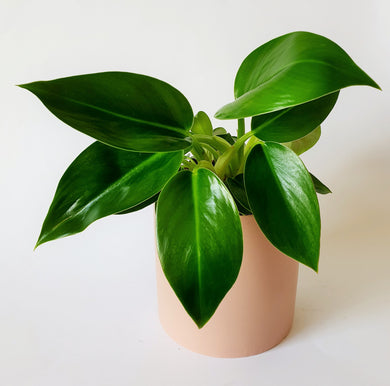 Philodendron in Medium Ceramic Pot