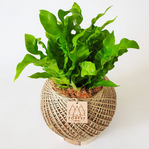 Medium Crispy Wave Fern Kokedama