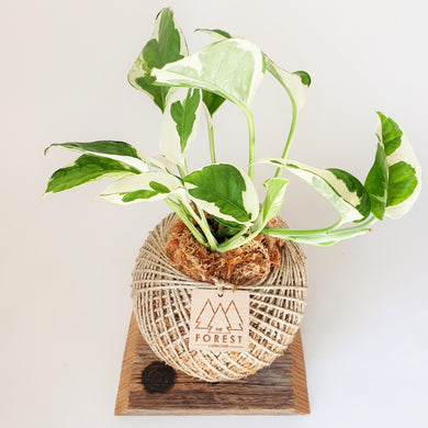 Medium Marble Queen Kokedama