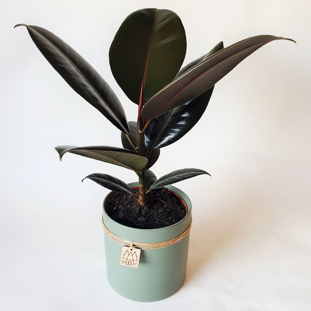 Rubber Plant in Medium Ceramic Pot