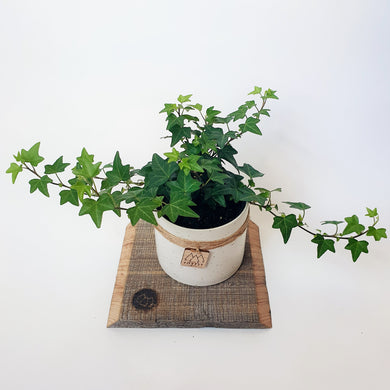 English Ivy in Small Ceramic Pot