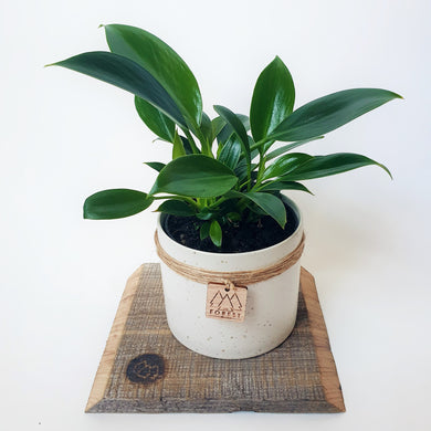 Philodendron in Small Ceramic Pot