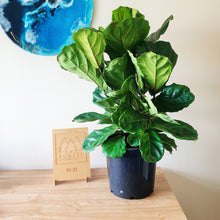 NUDE Fiddle Leaf Fig