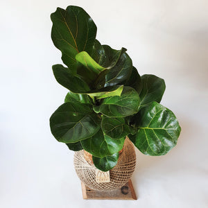 Jumbo Fiddle Leaf Fig Bambino Kokedama