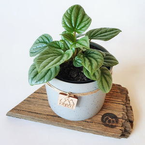 Potted Peperomia Moonlight