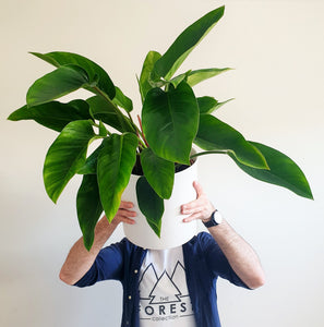 Potted Philodendron Congo