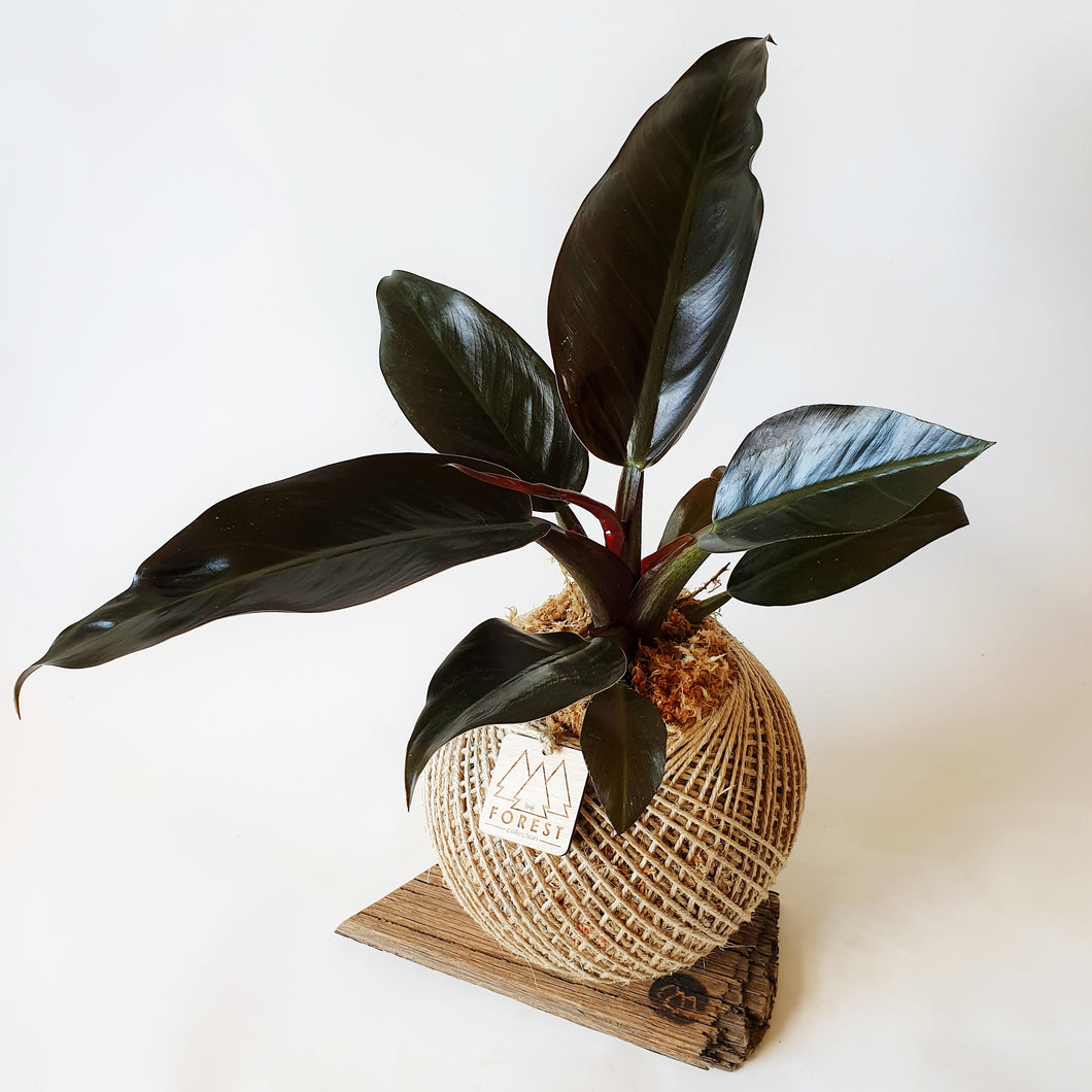 Large Philodendron Red Cardinal Kokedama