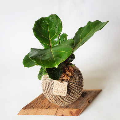 Medium Fiddle Leaf Fig Kokedama