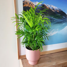 Parlor Palm in Small Blush Stockholm Pot