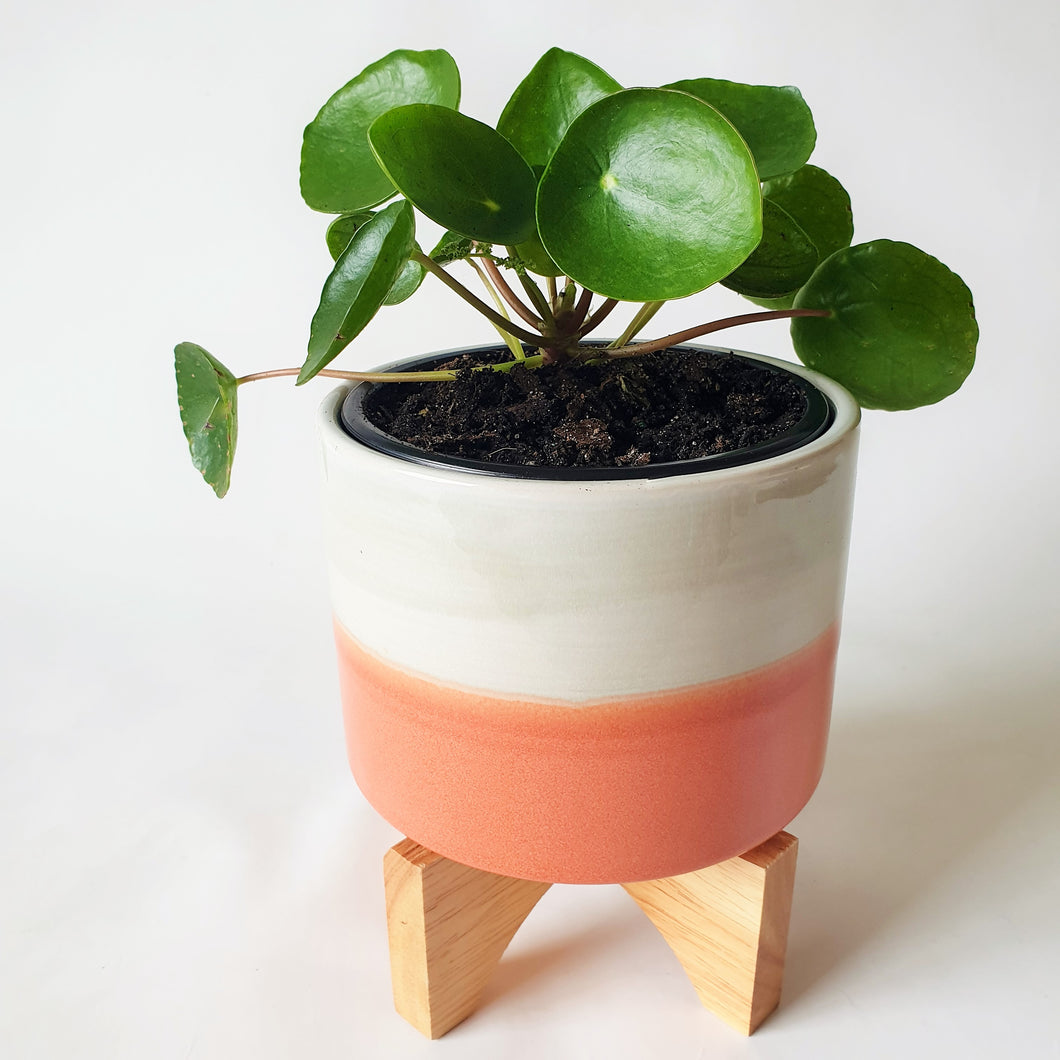 Pilea Peperomioides in Stripe Planter with Timber Legs