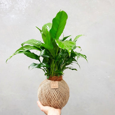 Large Peace Lily Kokedama