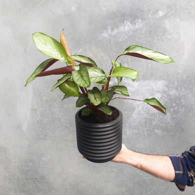 Ctenanthe Grey Star in Large Berlin Ceramic Self-Watering Pot