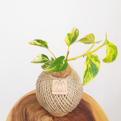 Medium Devil's Ivy Kokedama