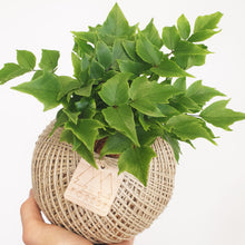 Medium Holly Fern Kokedama