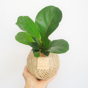 Medium Bambino Fiddle Leaf Fig Kokedama