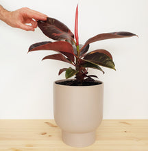 Ruby Rubber Plant in Medium Finch Pot Ash