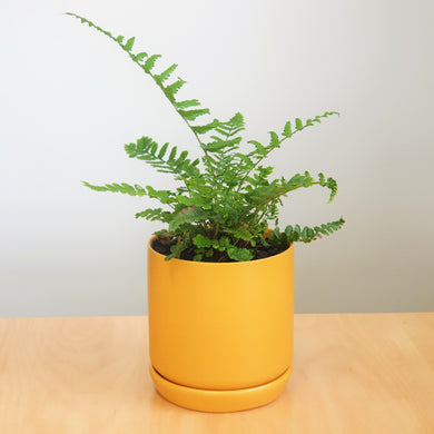 Haresfoot Fern in Small Oslo Planter - Mustard