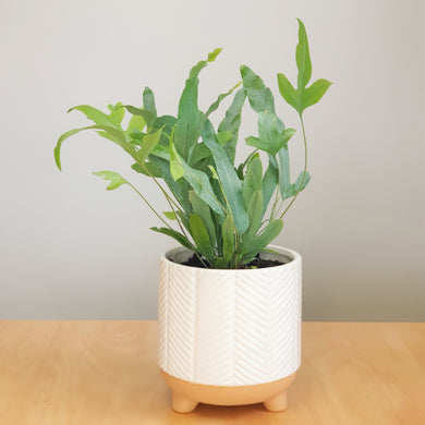 Phlebodium in Zari Planter - White