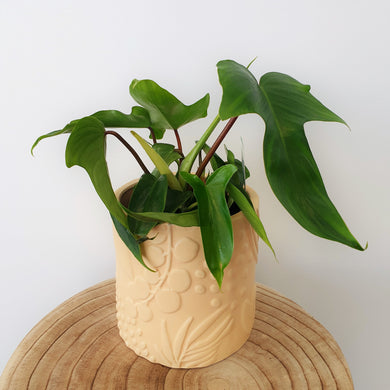 Philodendron Florida in Caprice Foliage Planter - Peach