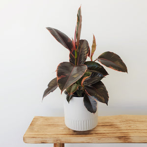 Ruby Rubber Plant in Birch Planter Medium - Chalk