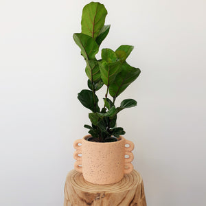 Tall Bambino Fiddle Leaf Fig in Textured Planter - Blush