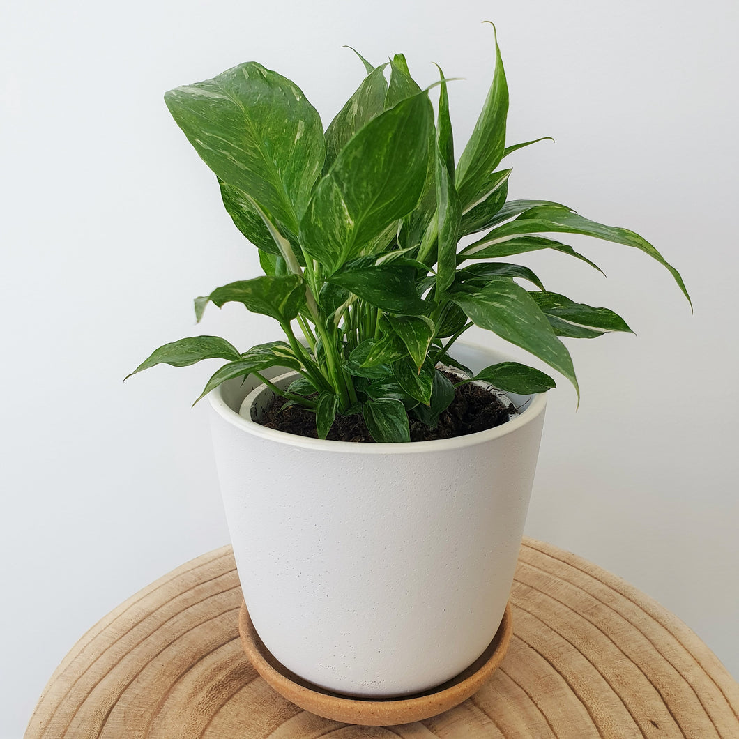 Variegated Peace Lily in Bonnie Pot Small - White