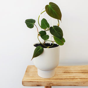 Philodendron Micans (RARE) in Finch Planter - White