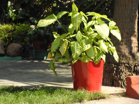 hand-painted-red-colour-indoor-pot-online-for-home-and-balcony.
