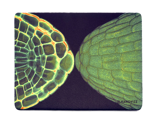 Mouse mat featuring an embryonic root tip. Imaged with confocal microscopy. Credit: Peter O'Toole, Joanne Marrison and Sue Bougourd, University of York, UK