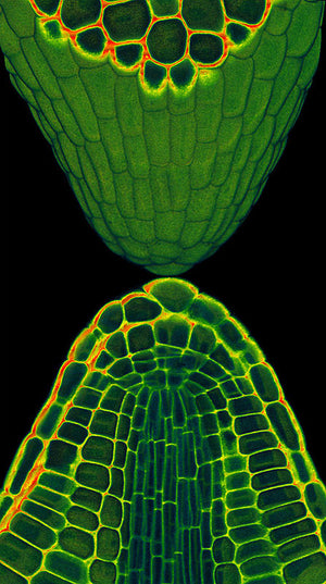 Poster print featuring an embryonic root tip dissected from a mature seed of Arabidopsis thaliana. Cell walls were stained with a fluorescent dye and a series of images taken using laser excitation and confocal microscopy. Credit: Peter O'Toole, Joanne Marrison and Sue Bougourd, University of York, UK