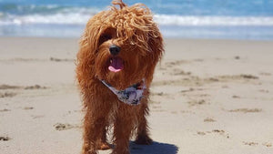 The flying dog n co pet products luxury Gerringong