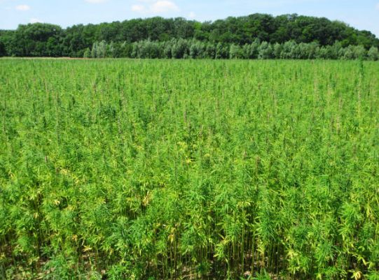 10 Interesting Facts About Hemp