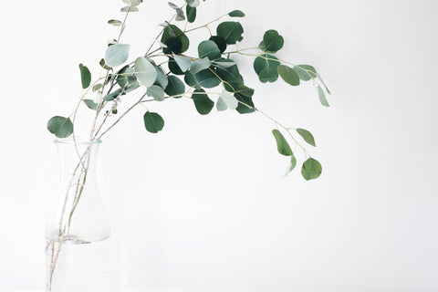 Eucalyptus Plant - Helps Better Sleep