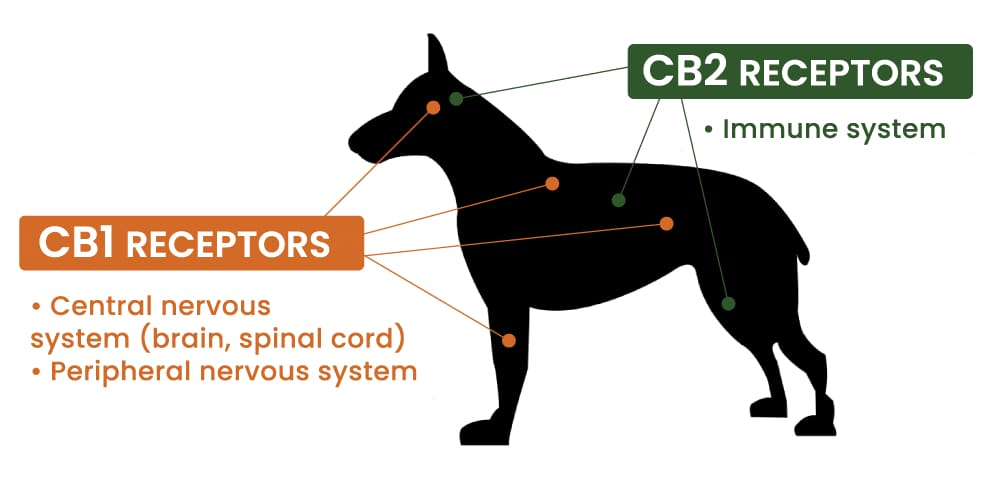 endocannabinoid system for dogs