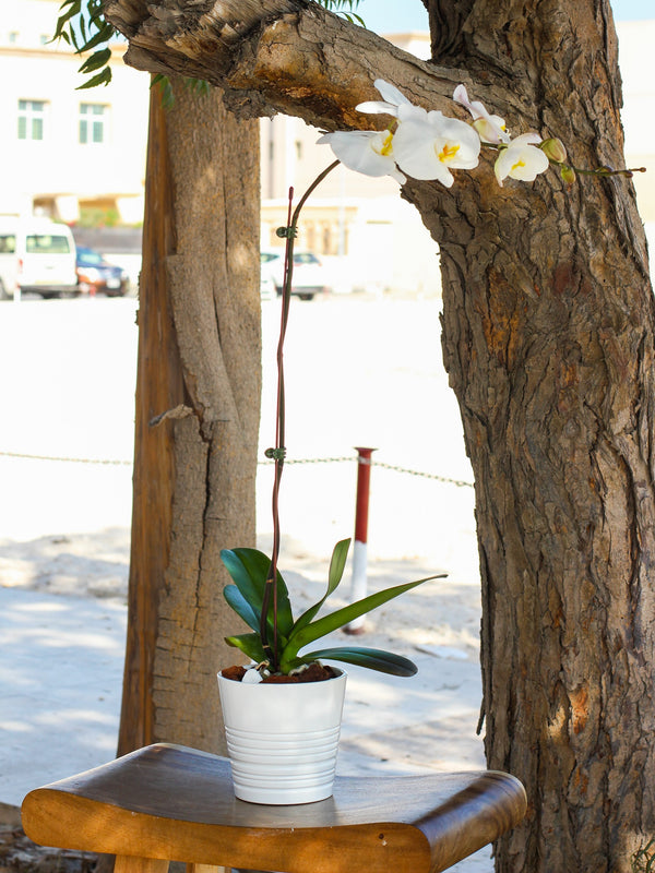 Single Stem White Phalaenopsis Orchid Plant