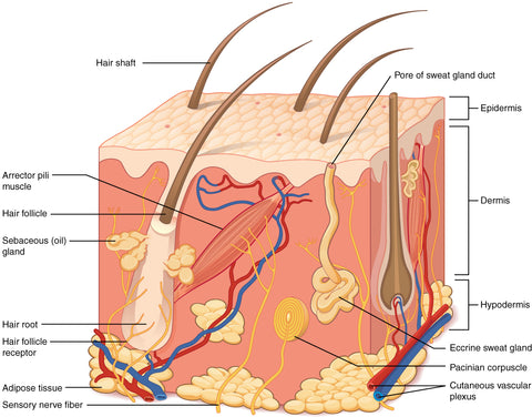 skin and hair under skin diagram and components